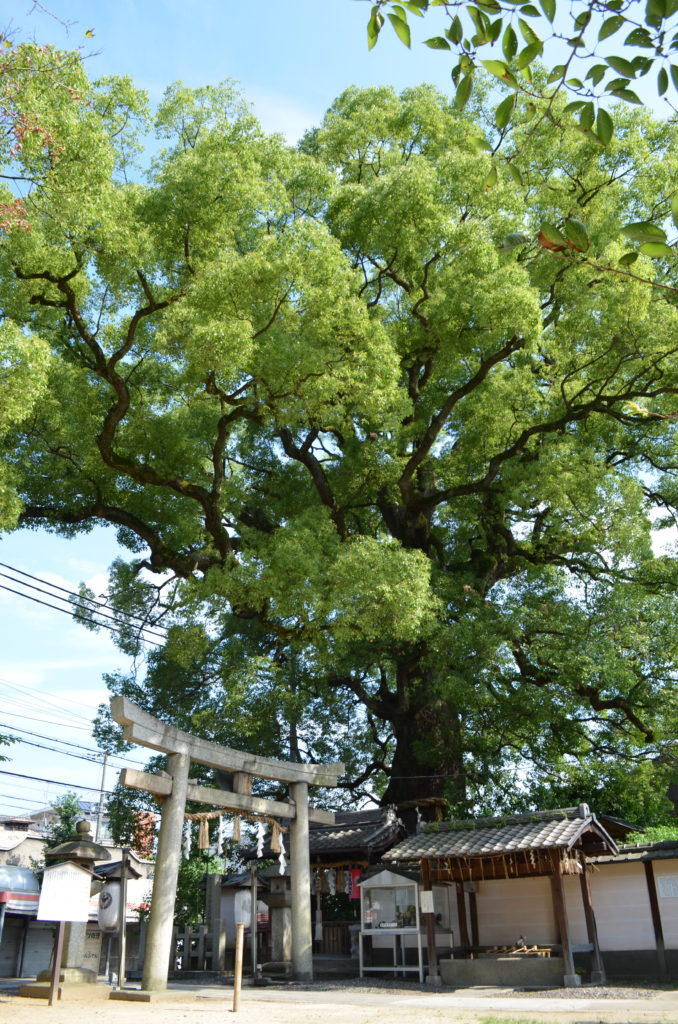 A giant leafy, green tree towers over the stone torii gate of Imagumano Shrine